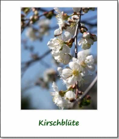 2007-fruehlingsimpressionen-kirschbluete