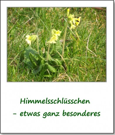 2007-fruehlingsimpressionen-schluesselblumen