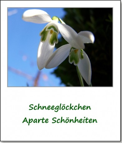 2008-fruehlingserwachen-schneegloeckchen