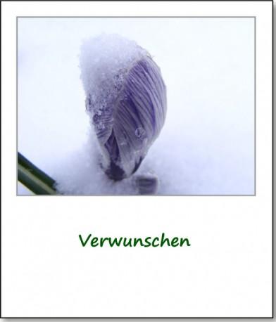 2008-ostersonntag-krokus-verwunschen
